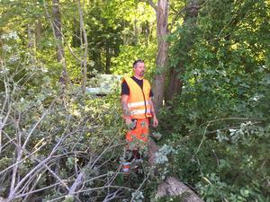 Henrik Skarén från Västmanlands Fastighetsskötsel studerar resterna av förödelsen efter att stammen sågats i bitar. Det döda trädet, som fortfarande inte har fallit, finns bakom honom på bilden.