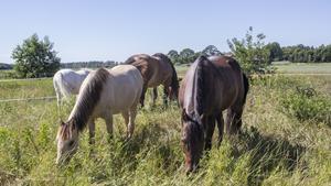Den bruna hästen närmast i bild är en av två av familjens riddarspelshästar.