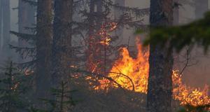 Runt 10 000 hektar skog brann upp i somras. En katastrof, inte bara för skogsägarna. Foto: Helahälsingland.se