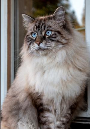 245) Katten Gustaf är en ragdoll/sibirisk-blandning som bor i Sjöbo utanför Ljusdal och lever sitt bästa kattliv med sin matte och husse Foto: Ann Marie Persson