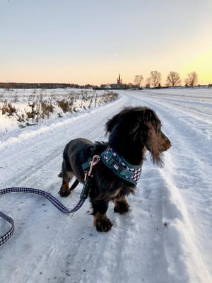 Om bilden: Dvärgtaxen Daim, född 8/6-2019, under sin första snö-promenad. Foto: Viktor