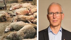 Två vargattacker skedde förra veckan och totalt dog 65 får. Men det finns åtgärder att vidta innan skyddsjakt kan bli aktuellt, säger Göran Åström. Bild: privat / Sara Burman