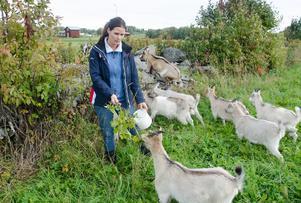 På måndagsmorgonen var de 15 killingarna på Stengärde getgård försvunna. Kristina Kuusiniemi, ägare till gården, fruktade att killingarna var stulna. Men senare på dagen kom hela gruppen av ungdjur traskande längs vägen.