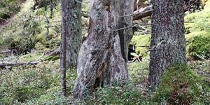 Från naturreservatet Storbacken i Västernorrlands län. Arkivbild