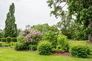 Grupper av buskar får ersätta några av de almar som fälldes när almsjukan svepte fram.