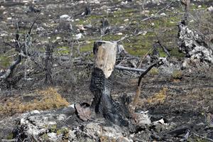 Resterna av en bränd torrfura.