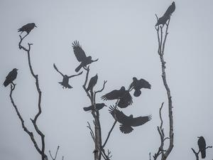 Kråkor fångade på bild en dimmig dag i november. Vi får på nytt bevis på att kråkor är mycket intelligenta fåglar. Foto: AP Photo/dpa,Frank Rumpenhorst)