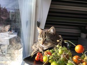 Smulan kommer från Gefle katthem och har varit hos oss ett halvår. Här ligger hon i sitt fönster och spanar ut över ägorna. Bild: Eva Bergström