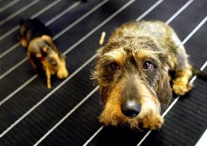 Det är många som skaffat sig hund som sällskap under ensamma pandemitimmar på hemmakontoret. När livet återgår till det normala är hunden mest till besvär. FOTO: PONTUS LUNDAHL