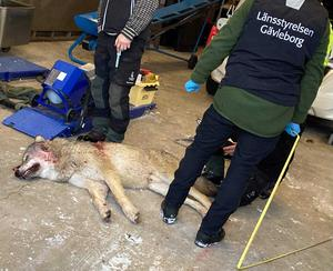 En av vargarna som sköts i Andåreviret.