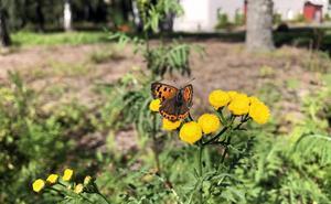 Den som gör egna ängsytor sparar tid och bränsle och får besök av fina fjärilar.