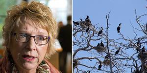 Frågan om skarven har lyfts till en högre nivå och nyligen hölls ett möte i Timrå om problemen med fågeln.