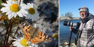 Fotografen Roine Karlsson har aldrig sett så många tistelfjärilar som denna försommar. Bilden på Tistelfjärilen (till vänster) är fotograferad av Roine Karlsson.