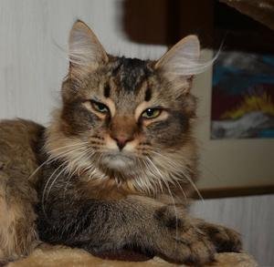 453) Våran älskade Måns.Måns blir sex år i år och han är både inne och ute katt  Foto: Emelina Fröjd