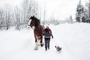 Shirehästen Julius och corgin Ultra hjälper Julia på hennes resa.