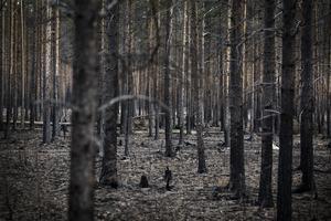 Träden är svarta efter brandens framfart och marken är bränd.