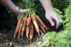 KRAV önskar att omställningen till ekologisk odling går fortare. FOTO: Carina Johansen