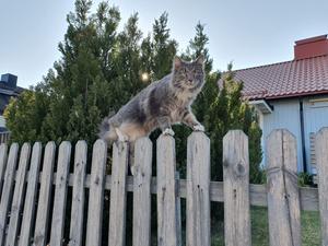 Monster heter den här katten för att han är det för mössen i Hille. Bild: Robert Röhstö