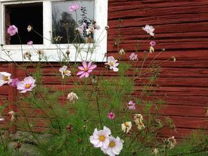 Rosenskärorna i sommar. Motverkar endimensionalitet. Foto: Göran Greider.