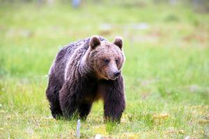 På senare tid har flera närgångna björnar observerats i Los-området. Björnen på bild har inget att göra med den björn som blev skjuten.