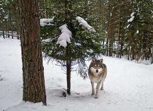 Insändarskribenten vill att vargfrågan blir löst med hjälp av ersättningar till de som drabbas av vargangrepp. Vargen på bilden är inhägnad på Järvsö zoo. Foto: Yvonne Åsell / SvD / TT