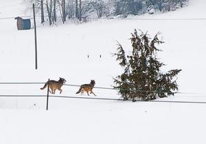 Dessa två vargar hade sitt revir i Roslagen år 2013 och fotograferades då av  Joakim Lannek.
