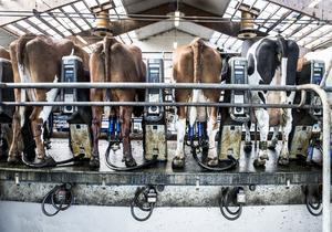 Mjölkproduktionen minskar oroväckande. Foto: Lars Pehrson/TT