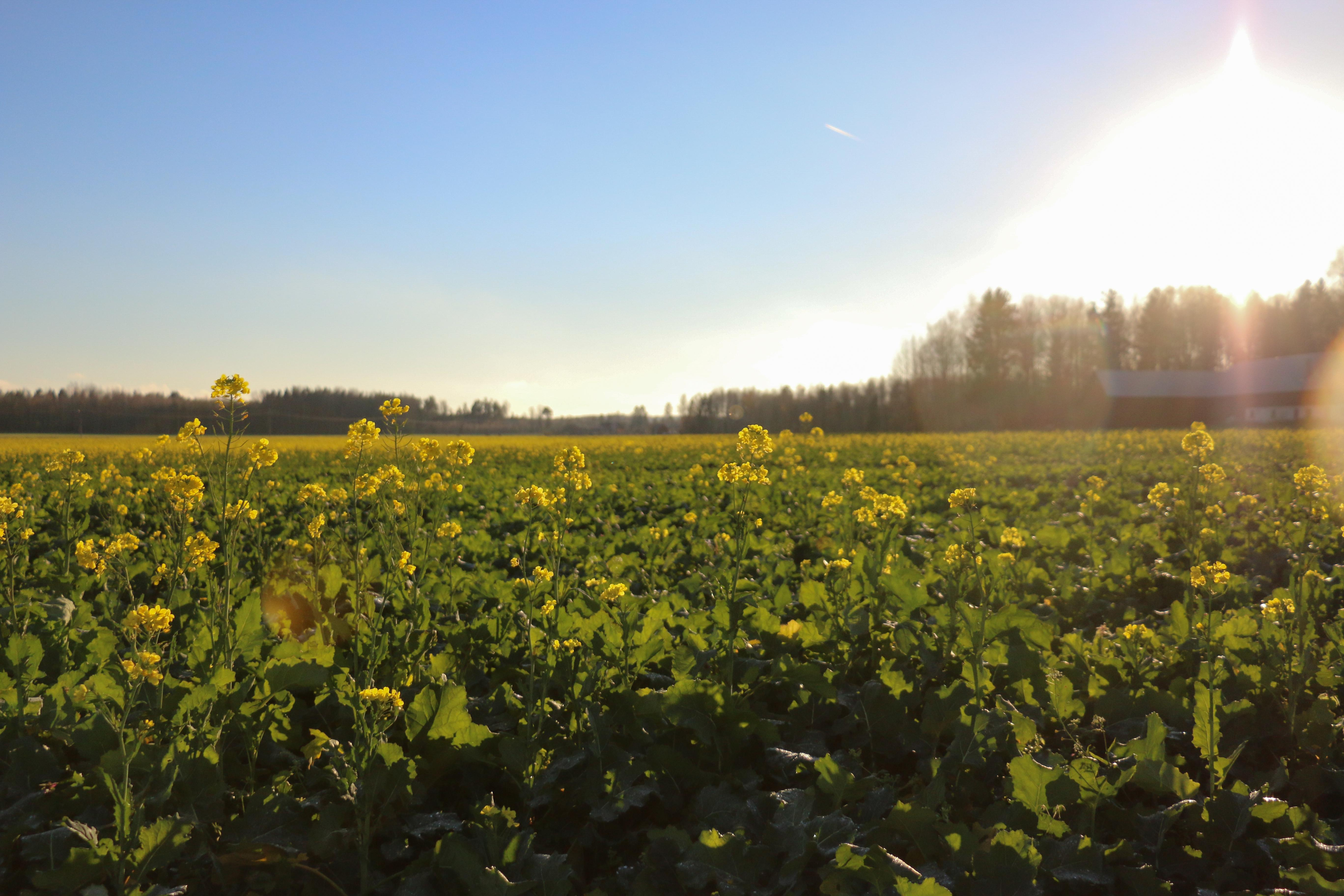 Det borde ha varit en försommarbild, men så här blommade rapsfälten i Byrsta i början av november.
