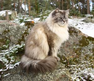 136) TIN-TIN är 7 år och en mycket påhittig katt. Äventyren är oändliga och han tror själv att han är Kungen af Lövskär. Foto: Anne-Christine Engman