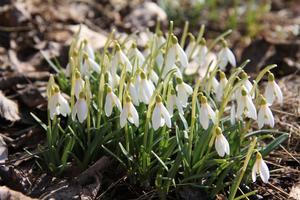 Snödropparna blommar nu även i Ramnäs denna sena, snörika vår. Foto: Harald Eriksson