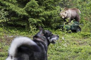 Bild från förra årets Björndagar i Billsta. Test för att se hur hundar reagerar vid ett möte med björn.