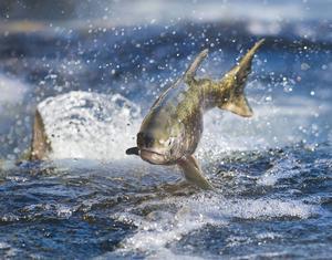 Nu stoppas det svenska fisket av lax i Östersjön, för resten av året, sedan alla tillgängliga kvoter fiskats upp. Arkivbild.   Hector Amezcua