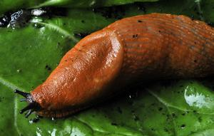 Spansk skogssnigel – även kallad mördarsnigel. Färgen kan variera från nästan svart till orange. Foto. Hasse Holmberg/SCANPIX