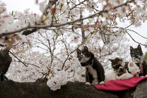 Katter njuter av att träden blommar, i Tokyo.