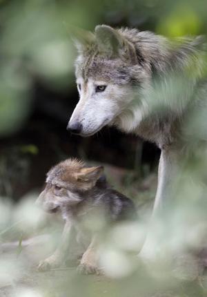 De flesta av oss tror att minskad biologisk mångfald handlar om utrotning av ett fåtal välkända hotade arter, som tiger och gorilla. Det är visserligen en del av problemet, men en ganska liten del, skriver EU-kommissionären Janez Potoènik som har haft åsikter om Sveriges jakt på varg.