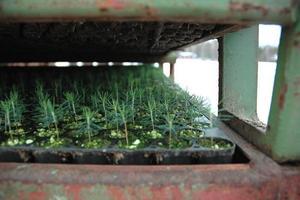 SMÅ.  De absolut sista plantorna från Brattfors står redo att lastas och forslas till Växjö, där de ska växa klart.