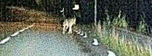 Fredrik Wilde, rovdjursansvarig på länsstyrelsen, säger att bilden är för suddig för att han ska kunna dra några säkra slutsatser om det vargliknande djuret.