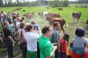 Korna gjorde glädjeskutt så dammet yrde inför alla åskådarna.