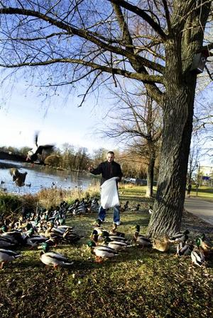 """hungriga änder. De 160 personer som är inskrivna på Nygården i Gävle, alla med något psykiskt funktionshinder, får en ansvarsfull uppgift under vintern. Tre dagar i veckan, till att börja med, ska de mata änderna i Boulognerskogen. """"Änderns blir lyckliga. Nu när det är kallt har de svårt att hitta mat själva"""", säger Rafael Serrano."""