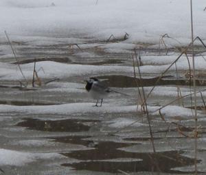 Vårens första sädesärla hoppar omkring bland isflaken på åkern. Temp. +4 i Donmora söder om Färna bruk.MvhKerstin Pennanen