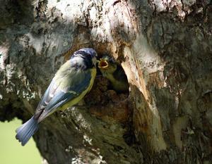Trevligt sällskap i trädgården, kul att titta på Blåmesen när den matar sina ungar