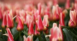 Tulpaner från blomstermässan Floriade. 1,8 miljoner blommor har planterats på mässans marker i år.