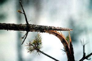 Betesskador på tallar kan betyda att skogsägaren måste börja om från början med att markbereda och plantera skogen.