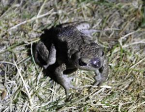 Nattetid är grodornas tid på Kusön. Det hoppar och skuttar överallt på stigarna och att undvika att trampa på dem är som en stepplektion.