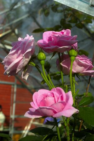 Ömtålig skönhet. Rosa rugosa Conrad Ferdinand Meyer heter den här gamla tyska rosen som fått sitt namn efter en schweizisk diktare och är så ömtålig att den får pryda sin plats inne i växthuset.