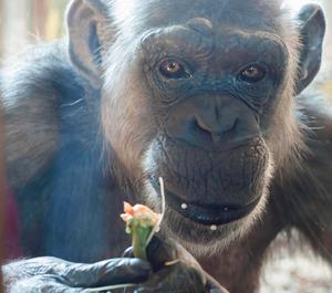 Schimpansen Linda är en av de två apor som ska flytta.