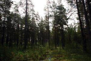 Ett skogsområde i Kärvsåsen har belagts med förbud mot avverkning. Flera rödlistade arter finns i området och gammal skog.  Bilden är en arkivbild.