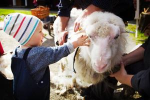 Vilhelm Gyllenkrok, 14 månader, fick sina första intryck av fåret Ulla under klippningen på Jamtlis öppna förskola.