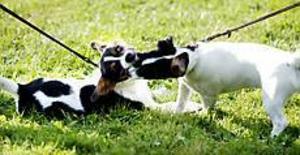 Foto:GUN WIGHInga hundslagsmål. De drygt 2 000 hundarna lyckades hålla sams hela dagen. De här Jack Russel-valparna lekte bara av sig lite överskottsenergi.