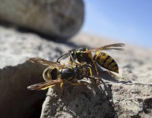 Getingar dras till nektar, söta saker och saft.